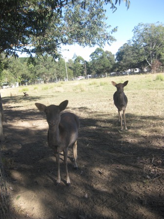 A couple of the deer at the Borumba Deer Park