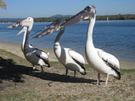 Pelicans hoping for a morsel of fish