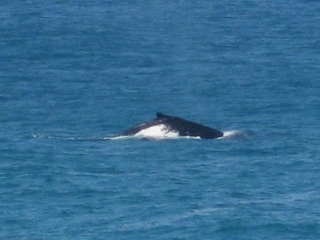 Humpback whale watching on Stradbroke Island -- whale heading south past Point Lookout