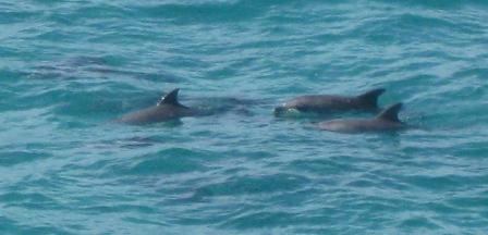 A pod of dolphins heading north past North Gorge walk